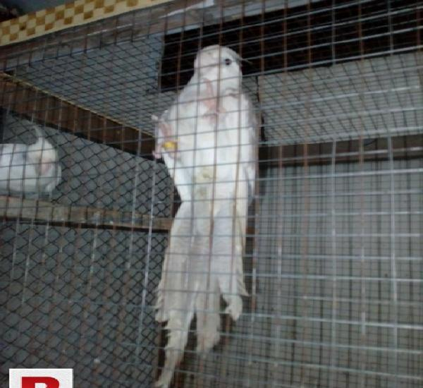 Eno pied red eye cockatiel chicks