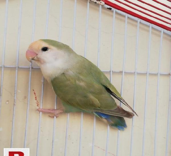 Female peach face love bird
