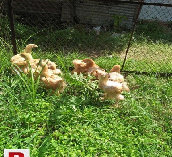 Golden buff chicken