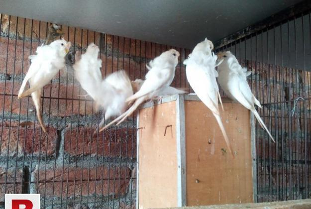 Hogoromo df white 3 males and 1 female for sale