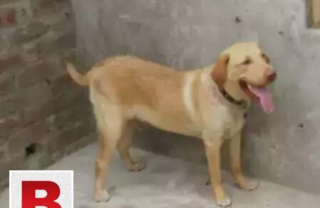Labrador male for stud