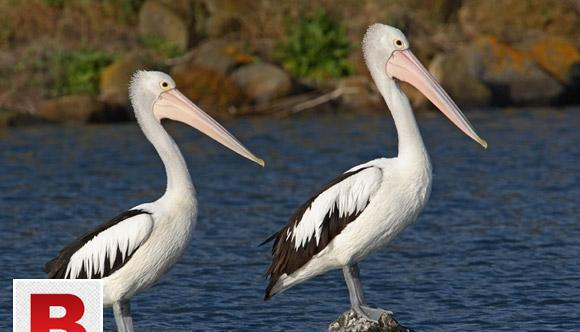 Pelican birds pair for sale