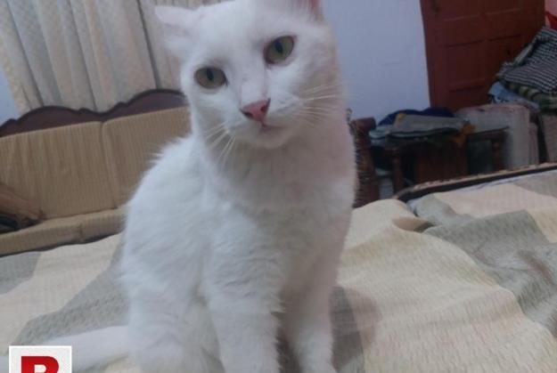 Adult persian cat