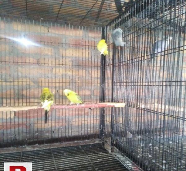 Exhibition birds for sale in resonable price two pairs