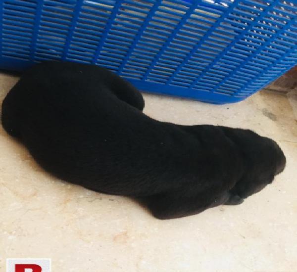 Labrador australian black