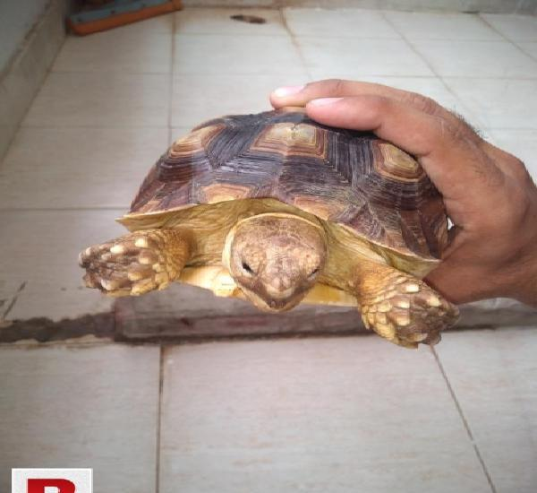 Sulcata tortoise turtle