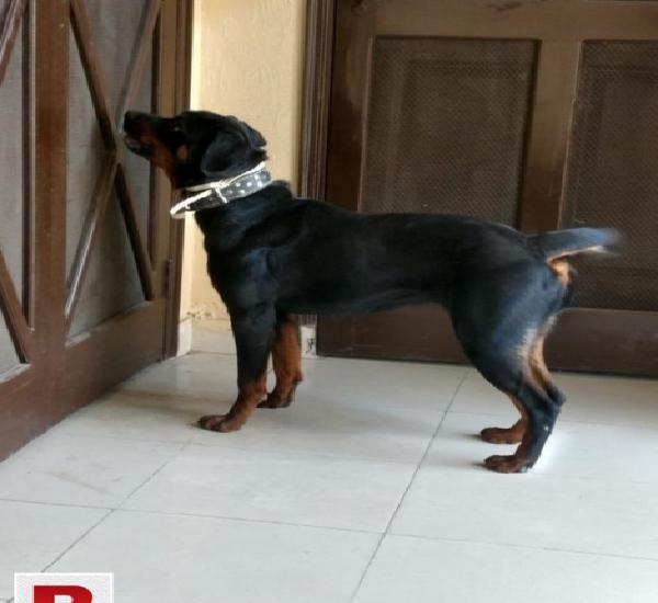 Female rottweiler 2years old