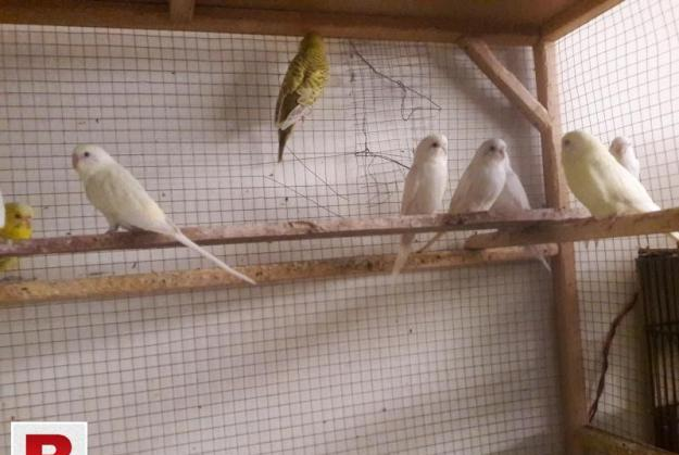 FELLOW & RED EYES BUDGIES FOR SALE FALLOW