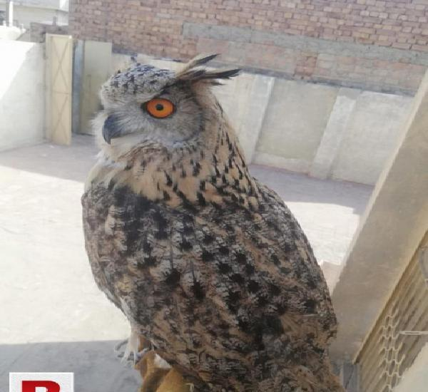 Egal owl top class full loving hand tame