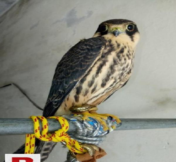 Hobby falcon avilibal