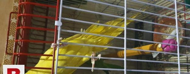 Yellow ringneck chick