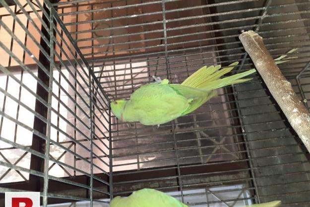 Green Ring nack breeder pair