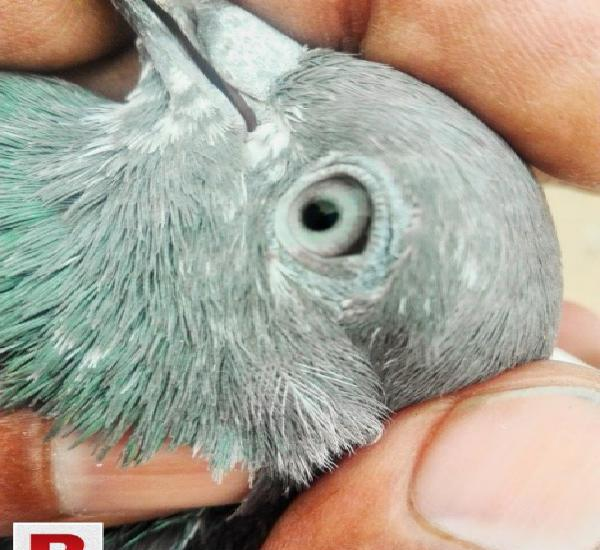 Rampuri female pigeon