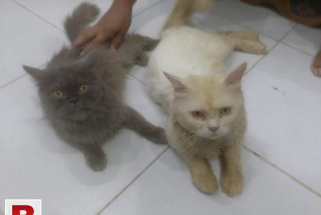 Pair of persian cats for adoption.