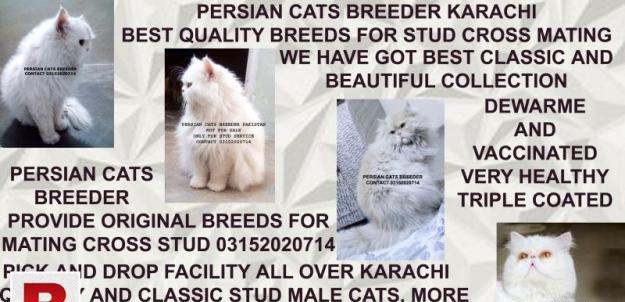 Excellent fertile high quality pure persian male cats for