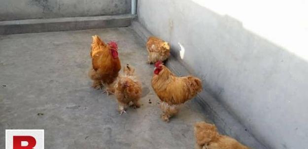 Havey golden buff chicken breeder