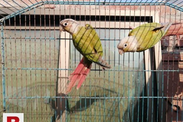 Pineapple conure pair