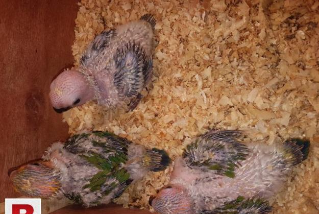 Suncnore and white ringneck.chicks