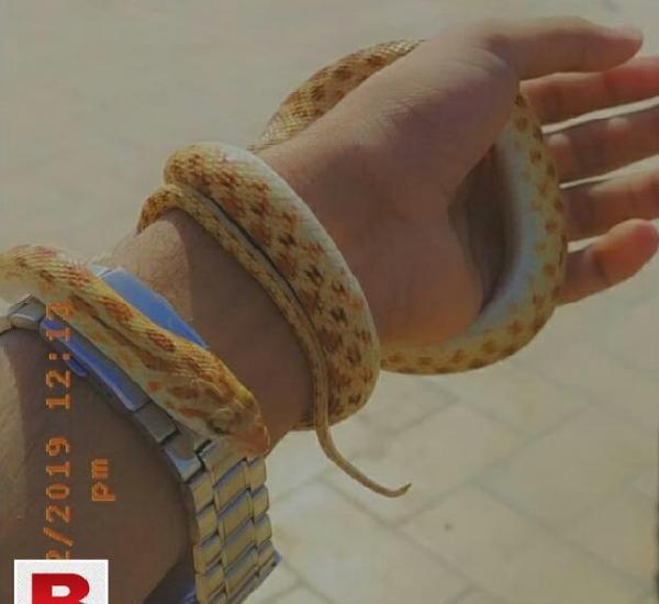 Snake, small corn snake, for pet,completely harmless