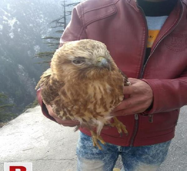 China gold eagle