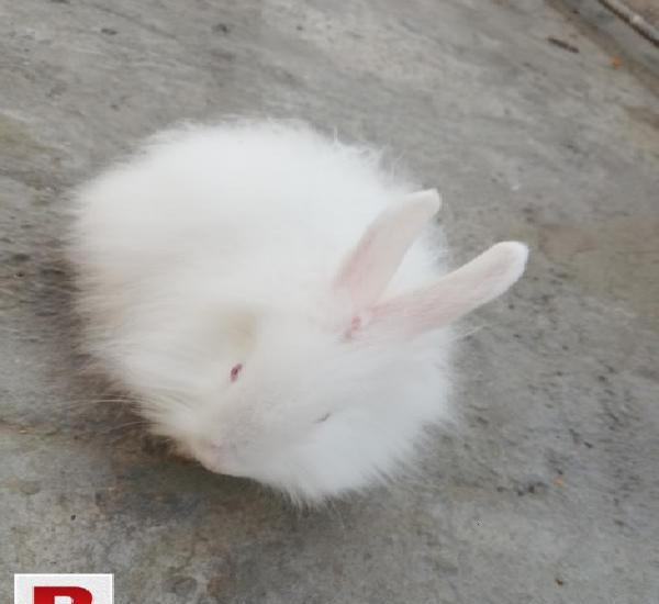 Lionhead angora rabbit