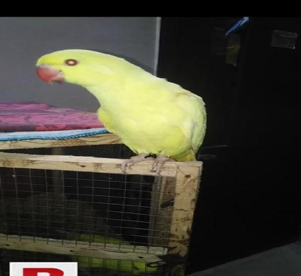Yellow ringneck