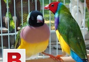 Gouldian finch breeding pair.