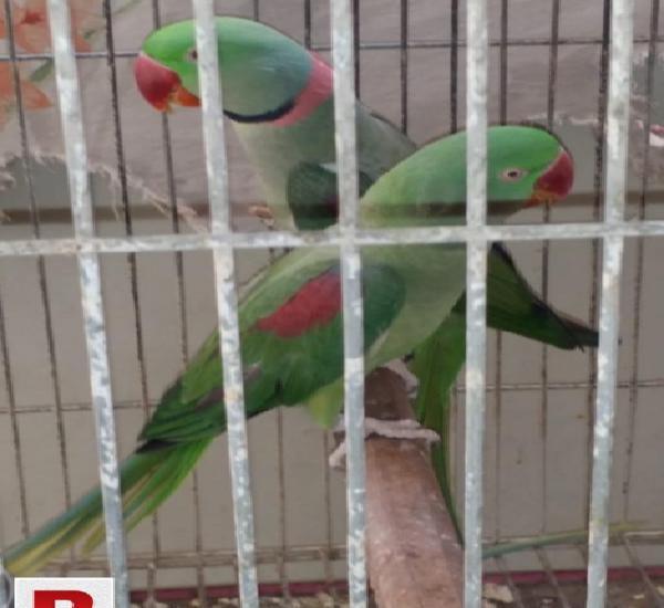 Pahari breeder pair