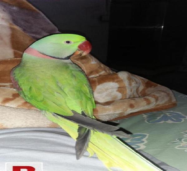 Raw my hero talking bird