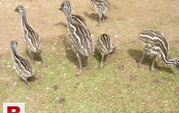 Emus Birds for Sale