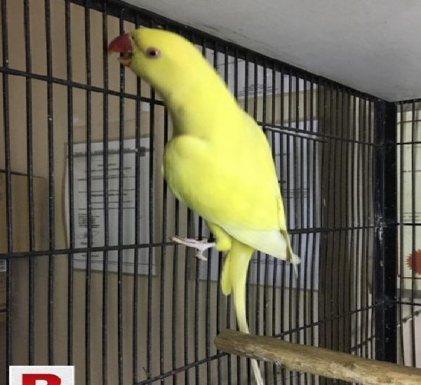 Yellow ringneck female for sale
