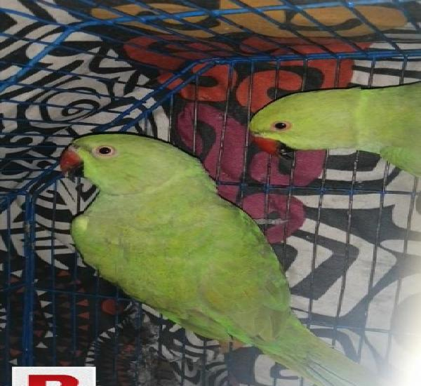 Green ringneck adult pair