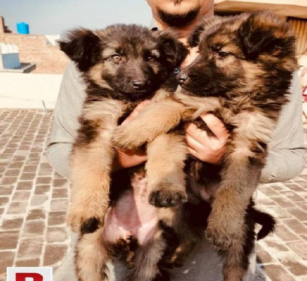 Non ped pair of german sheperd are availible for sale heavy