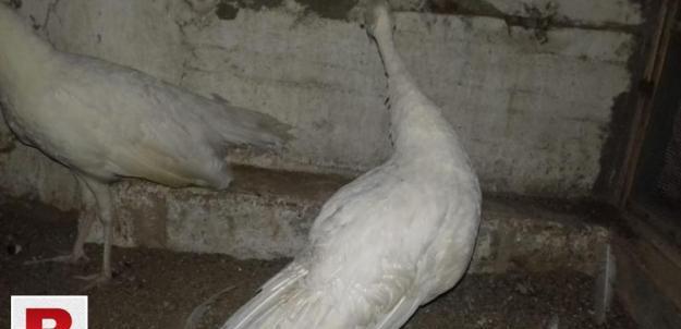 Pecock