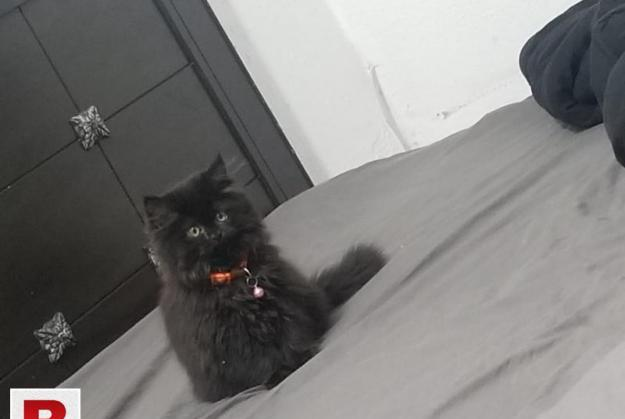 Punch face pure persian cats male and female
