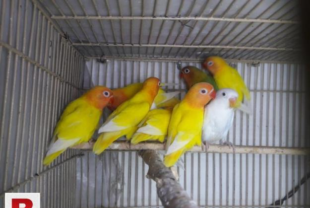 Love Birds Pathy For Sale – Latino Fisher Albino Lutino