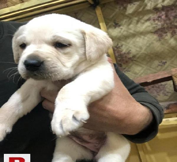 British Labrador Puppy Female