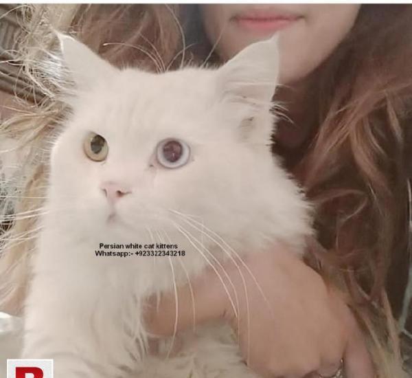Persian white cat kittens