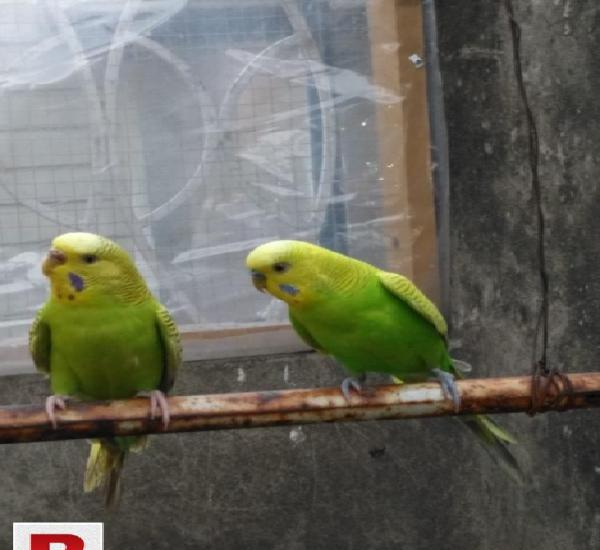 Australian breeder pairs