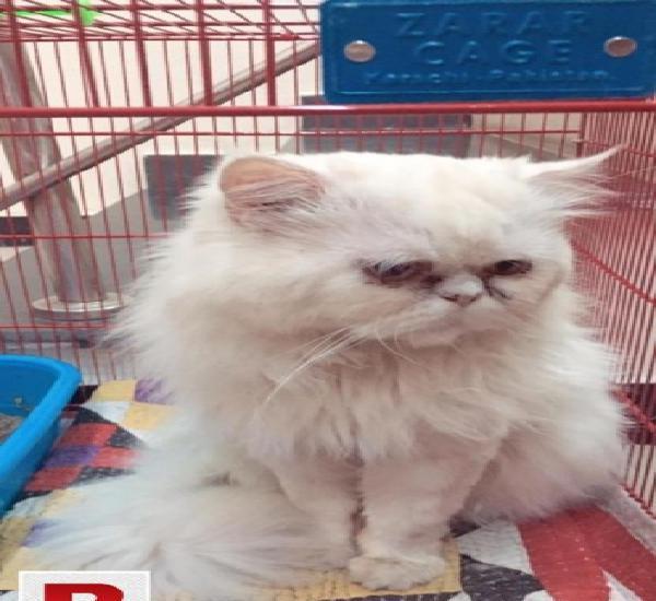 White persian peki faced male
