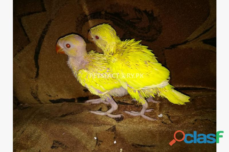 Yellow ringneck chicks for sale