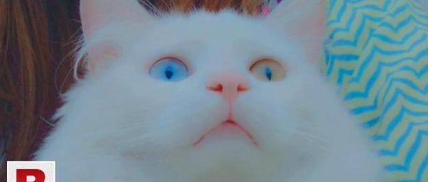Persian male cat triple cod double eye color
