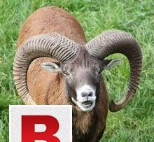 Mouflon sheep