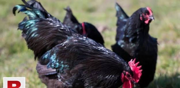 Black Australorp Chicks