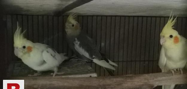 three fine quality Pied Cockatiels for sale