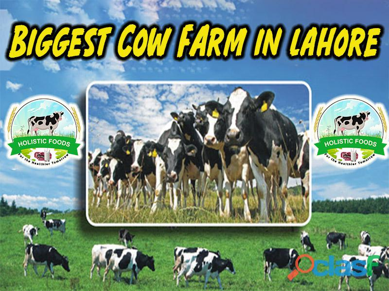 Biggest cow farm in lahore | best cows for milk