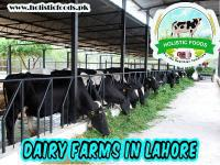Dairy farms in lahore | cow milk farming