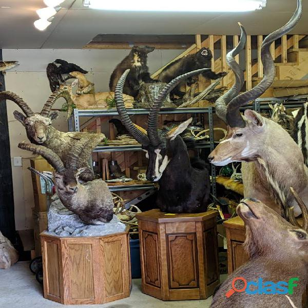 Excellent quality Taxidermy Mounts available for sale 1