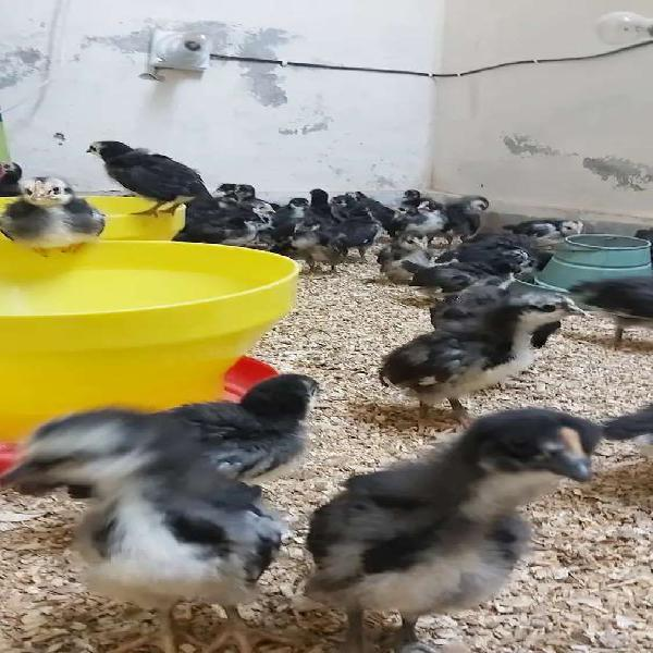 Australorp Chicks
