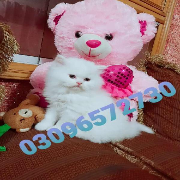 Amercian persian kittens